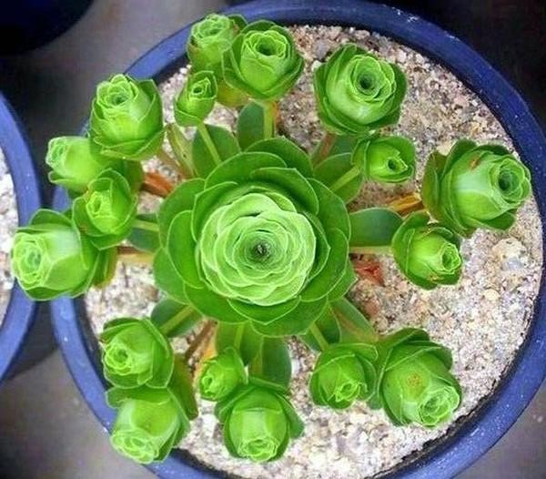 Сукулентна роза (Greenovia Dodrentalis)...