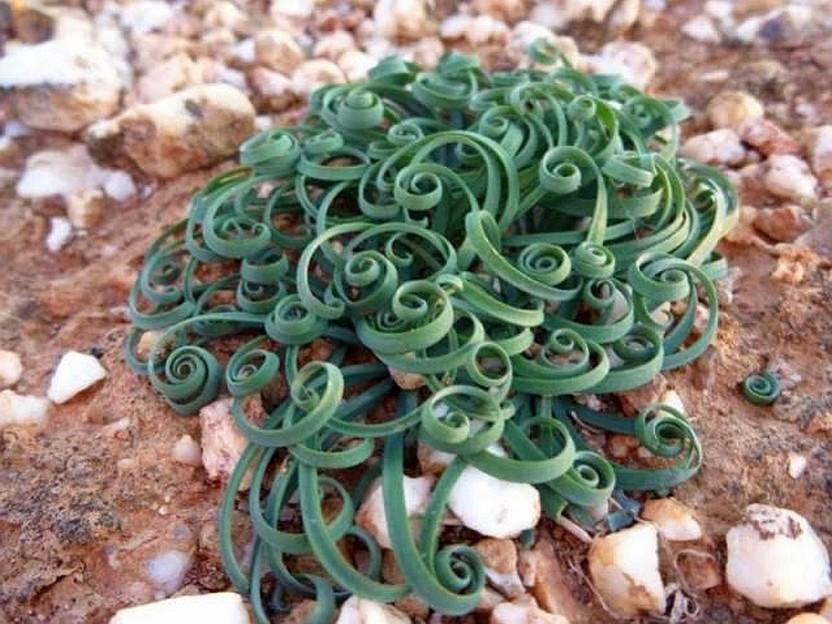 Tрахиандра (Trachyandra)...