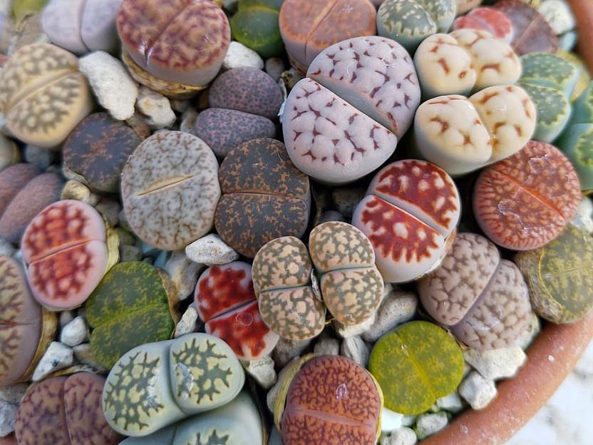Живи камъчета (Lithops)...