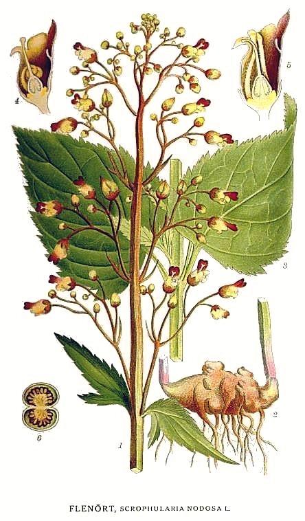 Живаниче (Scrophularia nodosa)...
