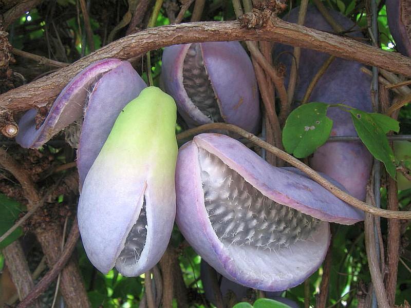 Шоколадова лоза (Akebia quinata)