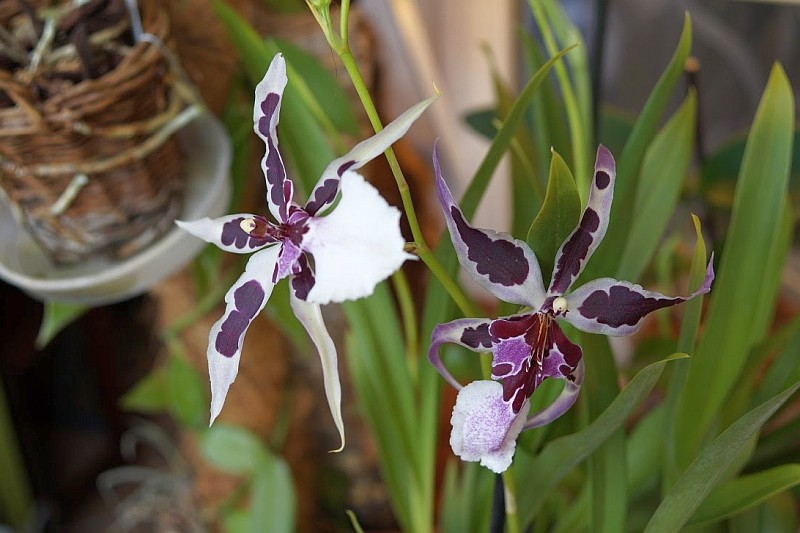 Орхидея Камбрия (Cambria)...