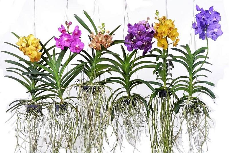 Орхидея Ванда (Vanda)...