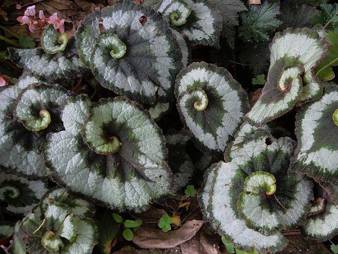 Begonia Rex (Царска бегония)