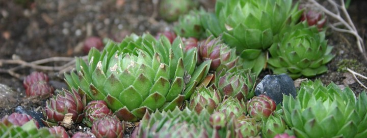 Дебелец (Sempervivum)