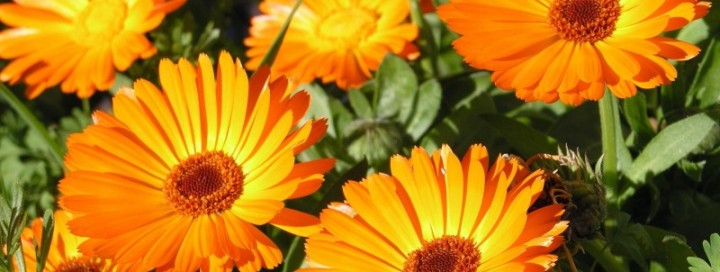 Невен (Calendula officinalis)